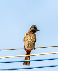 Red Vented bulbul (Abdurrahman754) Tags: bird birdwatching nikon nikond600 bulbul
