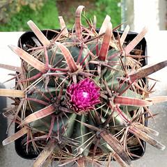 Ferocactus latispinus '150' (Pequenos Electrodomsticos) Tags: cactus cacto flower flor ferocactus ferocactuslatispinus