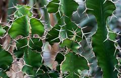 Euphorbia grandicornis (wpt1967) Tags: berlin canon50mm dornen eos60d euphorbiagrandicornis kaktus pflanzen stacheln botanischergarten wpt1967