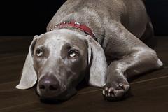 Weimarener portrait - wondering what the lights are for (halfpennysanchez) Tags: portrait halfbody studiolights weimaraner dog pet lying dark