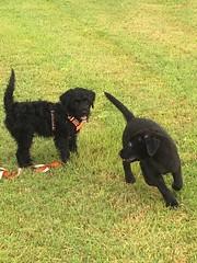 Gabby meets Ranger- and the fun begins! (crisp4dogs) Tags: gabby pwd crisp4dogs northcarolina water beach ranger puppies