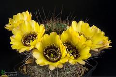 Lobivia jajoiana v. nigrostoma (clement_peiffer) Tags: lobivia jajoiana v nigrostoma d7100 105mm nikon cactus fleurs flower cactaceae succulent flowerscolors