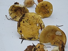 4725 These may be Yellow Safron Fungi (Andy - Daft as a brush - don't ask!) Tags: funguswalk llynparcmawr 20161008 fungi fungus mushroom fff mmm