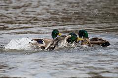 Rough sex (alanrharris53) Tags: lake bird water sex duck rough malard