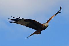 Curious Kite (Treflyn) Tags: uk red wild england kite bird garden reading back wildlife united low over kingdom raptor prey curious berkshire swoops earley