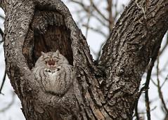 Eastern Screech Owl...#3 (A lifer for me...) (Guy Lichter Photography - 5.1M views Thank you) Tags: canada bird birds animal animals canon winnipeg wildlife manitoba owl eastern owls screech easternscreechowl 5d3