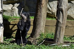 Andean Bear (Tremarctos ornatus) Explored _DSC0576 (ikerekes81) Tags: bear cute mammal cub washingtondc dc washington nikon nationalzoo nikond3200 spectacledbear dczoo omnivore andeanbear smithsoniannationalzoologicalpark tremarctosornatus d3200 washingtondczoo muniri andeanbearcub