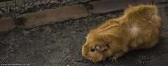 Ginger Guinea Pig (karlbadkin) Tags: park house bird chicken smile butterfly garden giant insect zoo aquarium golden countryside bush day katy eagle pheasant turtle hawk reptile snake wildlife sheffield nursery tortoise parrot peacock mothers lizard butter lemur toad owl otter cannon tropical karl gecko feed vulture poison macaw viper chameleon perry mothersday orrange falconry terrapin stickinsect rotherham trea lemar budgee alegator crockadile 550d fead mearkat badkin