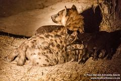 Hyena With Cubs In The Okavango Delta, Botswana (NativePaul) Tags: africa travel vacation holiday game nature night puppy puppies honeymoon northwest wildlife may roadtrip nighttime naturereserve wildanimal cubs botswana hyena okavango gamepark wildanimals gamereserve southernafrica 2014 okavangodelta hyenacubs sadc khwai khwairiver hyenacub may2014 sangosafaricamp