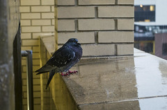 Huddled (mikemcnary) Tags: urban storm brick bird water rain weather drops downtown day unitedstates lexington kentucky garage beak splash claws talons