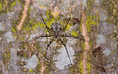 Tamopsis brisbanensis (dustaway) Tags: pinoak arachnida lismore araneomorphae australianspiders quercussp hersiliidae twotailedspider treetrunkspider tamopsis tamopsisbrisbanensis lismorescucampus