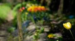 Spring in my Village ... (MiGr) Tags: flowers nature germany deutschland spring foto dorf village natur blumen olympus land f18 northern 45mm nord omd niedersachsen aufnahme osterholzscharmbeck frling mzuiko ohlenstedt em5markii