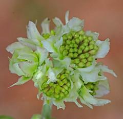 CAC020638a (jerryoldenettel) Tags: flower fl wildflower asteraceae 2015 asterales hymenopappus asterids libertyco hymenopappusscabiosaeus wollywhite telogia fl65 carolinawollywhite