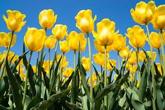 Yellow Tulips (bamboo_sasa) Tags: flower yellow japan spring tulips tulip 日本 niigata 花 春 新潟 チューリップ