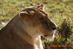 Lion (B. Dur-C.) Tags: africa naturaleza nature animal animals nikon kenya lion safari leon afrika animales animaux leone animali afrique d40x
