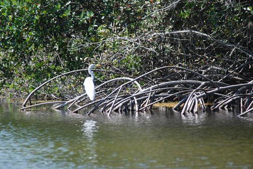Coral Gables - Fairchild Tropical Gardens - Great Egret and Mangroves