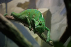 comical lizard (Blue Mtns. bush girl) Tags: zoo sydney australia lizard chameleon taronga
