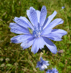 Chicory flower with iridescent insect - Explored! (Monceau) Tags: fortdemarly blue chicory flower dimpled texture iridescent insect 197366 explore explored