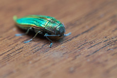 Jewel beetle, BC (dzroth) Tags: nature beetle jewelbeetle