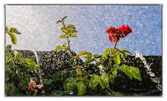 rubra rosa (Unos y Ceros) Tags: rosa rubra agua contraluz terminillo aragn textura luz unosyceros 2016 lightroom nikond700 zaragons zaragoneses europaunineuropeaueinvarietateconcordi