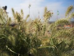 Hairy weed (Ren-s) Tags: herb herbe weed sea mer sky ciel fuzzy poilu hairy bokeh clouds nuages ostend belgiuum belgique europe green vert feuille leaves leaf vegetal vegatation