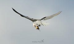 Black-shouldered Kite with prey (shelley90) Tags: blackshoulderedkite birdinflight raptor birdofprey