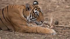 Royal Bengal Tiger Portrait (Raymond J Barlow) Tags: tiger wildlife workshop travel india adventure phototours raymondbarlow