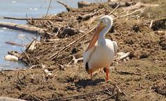 American White Pelican  3442 (robenglish64) Tags: americanwhitepelican