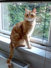 caught birdwatching... (buckaroo kid) Tags: london uk feline tabby cat windowsill ginger orange woody woodythecat