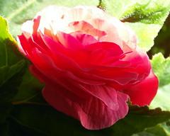 red begonia (kexi) Tags: red green begonia flower petals macro samsung wb690 gniazdowo poland polska july 2015 instantfave