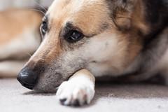 """Mom, take that hair of my nose please"" (Monika Kalczuga (v.busy)) Tags: dog pet animal animals nose dof bokeh paws doggie kaila ilovemydog deptohoffield"