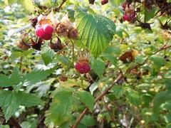 wild raspberries (Sasha India) Tags: siberia okunevo omsk omskoblast omskregion travel journey