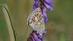 Kleiner Sonnenröschen-Bläuling  (Aricia agestis) (Oerliuschi) Tags: butterfly natur falter blume makro blüte insekten schmetterling schärfentiefe flyinginsect fluginsekt tagfalter