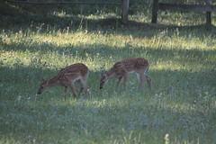 IMG_9127 (thinktank8326) Tags: nature wildlife deer spots fawn whitetaileddeer babyanimal
