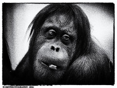 orang-1-1-1 (Stewart Taylor (SMT Photography)) Tags: wild blackandwhite nature animal photography zoo photo blackwhite wildlife orangutan endangered captive tierpark naturalworld orang utan captivity zoos zoology hellabrunntierpark