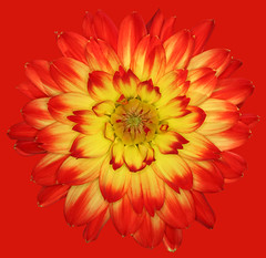 Procyon (brianrosshaslam) Tags: dahlia procyon red redbackground