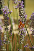Orange Butterfly (photoschete.blogspot.com) Tags: canon 70d eos sigma naturaleza nature color colors mariposa butterfly naranja orange lavanda morado purpple cantueso