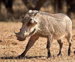 Warthog putting the best foot forward (Johann (Sasolburg, RSA.)) Tags: warthog vlakvark mabalingwe