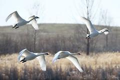 DSC_1418 (KevinYMa) Tags: bird nature tundraswan