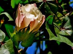 Flor de algodn de rbol/tree cotton flower blooming. (jerodamor@yahoo.com.mx) Tags: naturaleza flores algodn greatphotographers