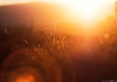 Hot days III (Photographordie) Tags: olympuspenepm2 vivitarseries1macro90mmf25 atardecer verano luz bokeh 90mm vivitar90mm light glow sunset twilight beautyinnature flare naturaleza naturallight olympus microfourthirds microcuatrotercios m43 epm2 orange summer hot warm