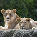 Mother and son lions