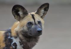afrikanischer Wildhund (heribertfischer) Tags: afrikanischer wildhund zoo duisburg