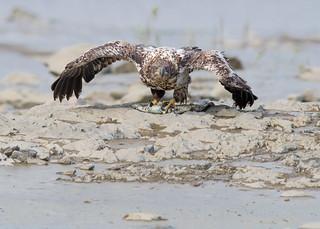 Pygargue à tête blanche - Haliaeetus leucocephalus - Bald Eagle
