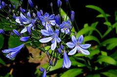 Agapanthe (Chris-17) Tags: plant fleur flower agapanthe agapanthus