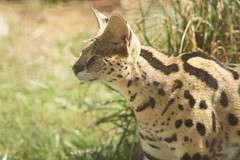060_Great Cats Park_Serval (steveAK) Tags: greatcatsworldpark serval