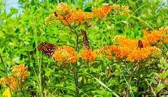 Butterflies & Moths (ScreaminScott) Tags: butterfly moth butterflyweed