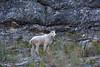 "Goat (jimgspokane) Tags: mountaingoats wildgoats wildlife animals idahostate otw ""nikonflickraward"""