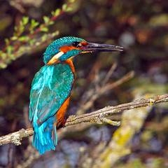 IMG_1234a (berserker170) Tags: 7d 150500 sigma eos extremadura naturaleza kingfisher martinpescador alcedoatthis rio river canon flickrexploreme
