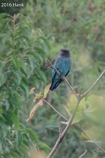 Dollarbird / 佛法僧 (Eurystomus orientalis)